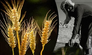 Pakissan.com; Wheat economics and poverty