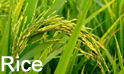 Rice :- Pakissan.com