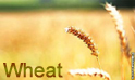 Wheat :- Pakissan.com