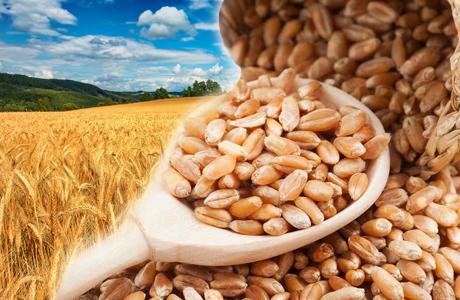 Wheat Wheat Every where..