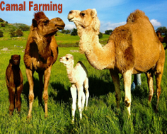 INTRODUCTION: Camel Milk :-Pakissan.com
