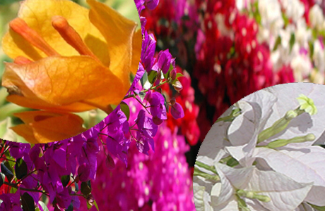 Bougainvillea: A potential ornamental plant -:Pakissan.com