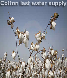 Cotton should get last water supply before Oct 10:Pakissan.com