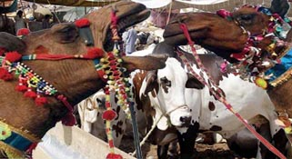 CDA takes over management of sacrificial animals' market: IHC told:-Pakissan.com