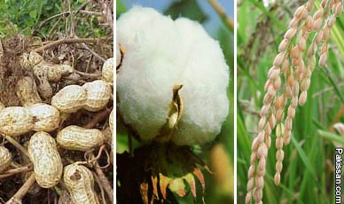 Pakissan.com; Lower targets for cash crops