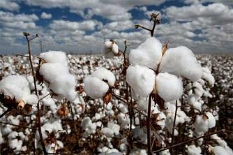 Cotton Production Rises 10%:- Pakissan.com