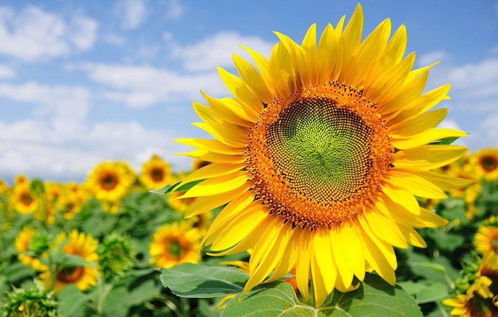 Sunflower Pakissan Com