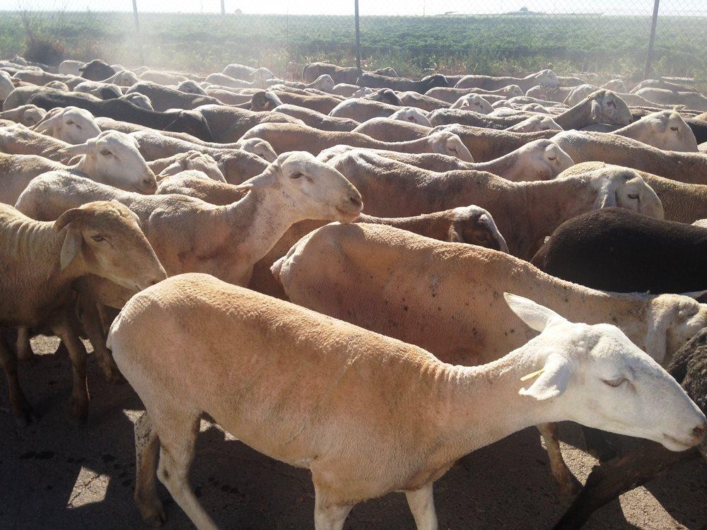 Biggest Goat Pakistan