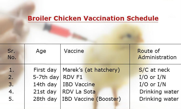 Vaccination Schedule For Broilers Pakissan
